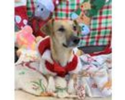 Adopt 159730 a Tan/Yellow/Fawn Dachshund / Mixed dog in Bakersfield