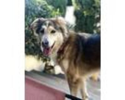 Adopt Dallas a Tan/Yellow/Fawn - with White Husky / Collie / Mixed dog in Marina