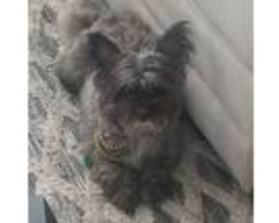 Adopt LaLa a Gray/Silver/Salt & Pepper - with Black Terrier (Unknown Type