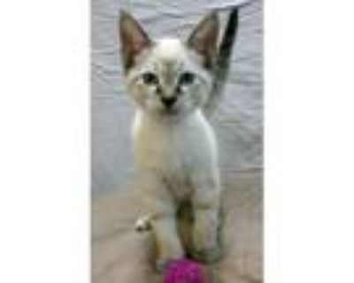 Adopt Ollie d (bonded with Aggie) a Siamese, Tabby