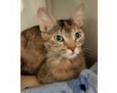 Adopt Cleotilde a Domestic Short Hair