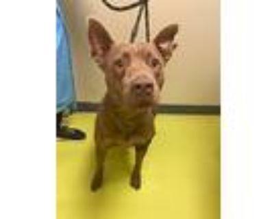 Carmello, American Staffordshire Terrier For Adoption In Cerritos, California