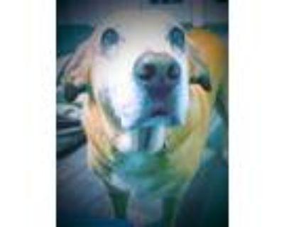 Adopt Byron a Labrador Retriever, Golden Retriever