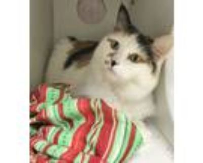 Adopt Willow #1 a White (Mostly) Domestic Longhair (long coat) cat in Newport