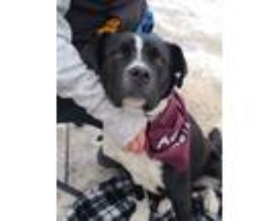 Adopt Russell a Black - with White Boxer / German Shepherd Dog / Mixed dog in