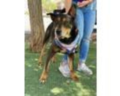 Adopt MUSKIE a Black Rottweiler / Mixed dog in El Paso, TX (31490727)