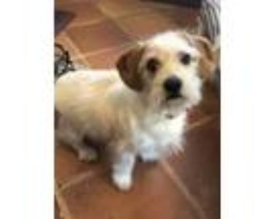 Adopt COCO a White - with Tan, Yellow or Fawn Jack Russell Terrier / Beagle dog