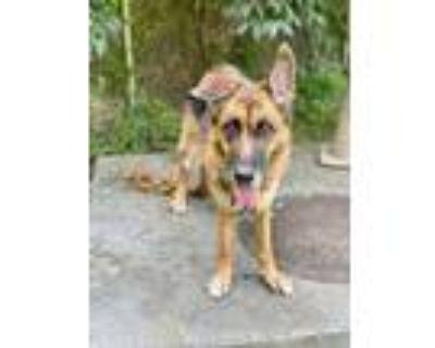 Adopt Delilah a German Shepherd Dog