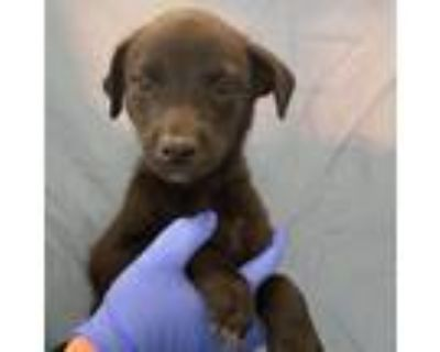 Adopt Golly Blooms a Black Australian Shepherd / Mixed dog in Mission