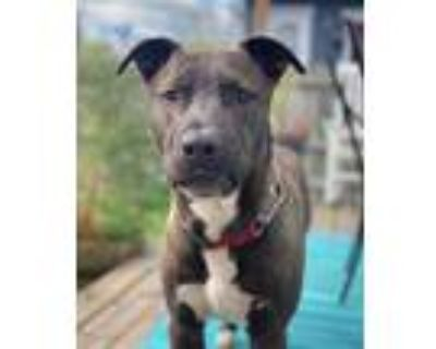 Branch, American Pit Bull Terrier For Adoption In Germantown, Ohio