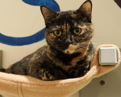 Latte - Domestic Shorthair - Young Adult Female