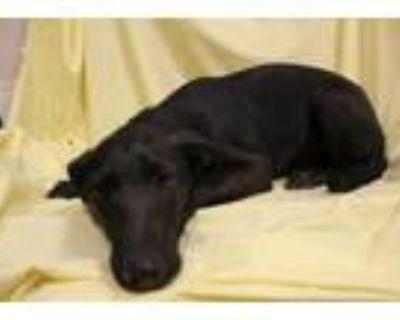 Adopt A552481 a Labrador Retriever, Mixed Breed