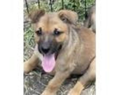 Adopt Scout a German Shepherd Dog