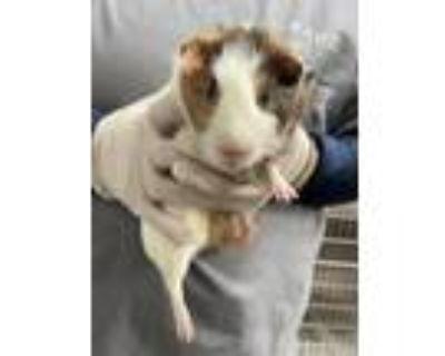 Adopt Mr. Nibbles a Guinea Pig