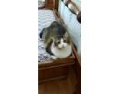 Adopt Katie a Calico or Dilute Calico Maine Coon / Mixed (long coat) cat in