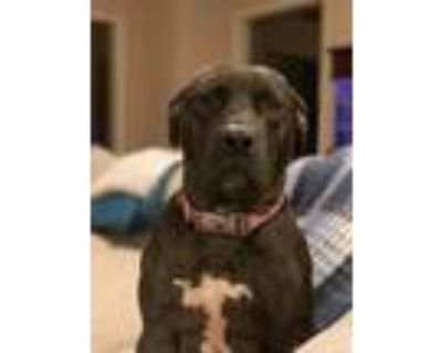 Adopt Adira a Black - with White Pit Bull Terrier / Mixed dog in Broken Arrow