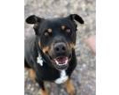 Adopt Holly a Black Shepherd (Unknown Type) / Rottweiler / Mixed dog in Rio