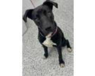 Adopt Inky a Black Labrador Retriever / Mixed dog in Kansas City, MO (32061475)