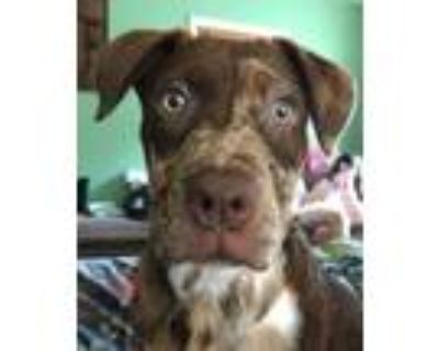 Adopt Hallie Bonica Roses a Catahoula Leopard Dog / Mixed dog in Boston