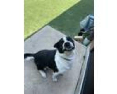 Adopt Billy a Black Labrador Retriever / Border Collie / Mixed dog in Quincy