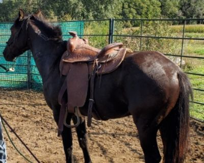 3 year titled black mustang gelding