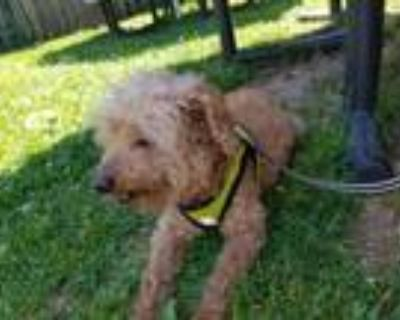 Adopt Mickey a Poodle, Yorkshire Terrier