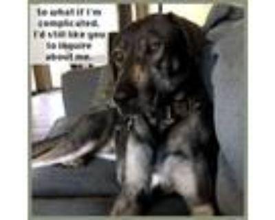 Adopt Marlo a German Shepherd Dog, Labrador Retriever
