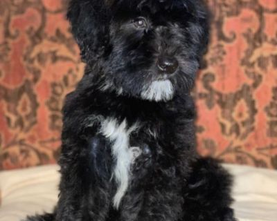 IRISH Mini Whoodle Puppy