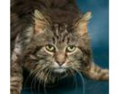 Adopt Tony the Tiger a Brown Tabby Maine Coon / Mixed (long coat) cat in