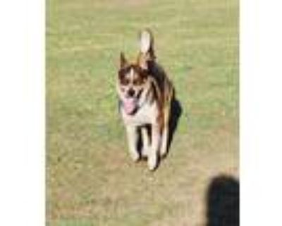 Adopt *MATER a Brown/Chocolate - with White Australian Cattle Dog / German