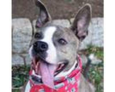 Adopt Belladonna a Brown/Chocolate Boxer / Mixed dog in Washington