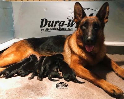 Black & Red German Shepherd Dog Female Puppies! Imported Parents!