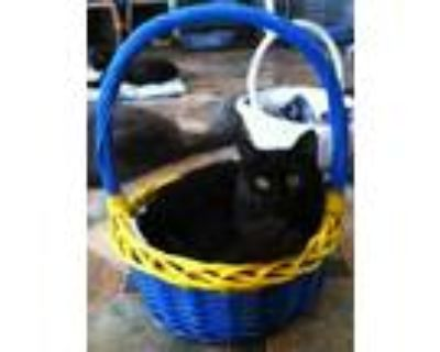 Adopt Windy a All Black Domestic Shorthair / Mixed (short coat) cat in