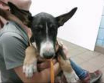 Adopt VALIENTE a Bull Terrier, Mixed Breed