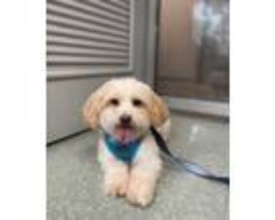 Adopt ARCHIE a White Lhasa Apso / Mixed dog in Boston, MA (31623440)