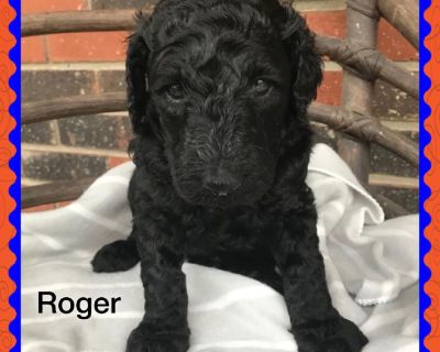 Gorgeous Standard Poodle puppies