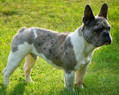 French Bulldog Puppies from Health Tested Parents