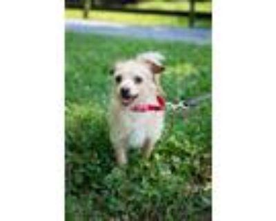 Adopt Winslow a Norfolk Terrier, Dachshund
