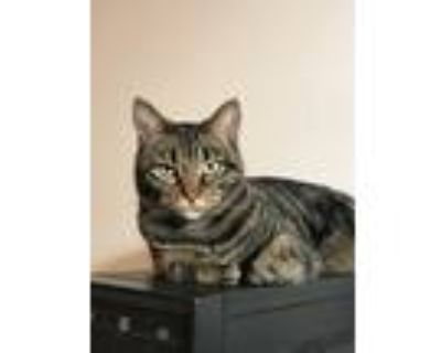 Adopt Olive a Gray, Blue or Silver Tabby American Shorthair / Mixed (short coat)