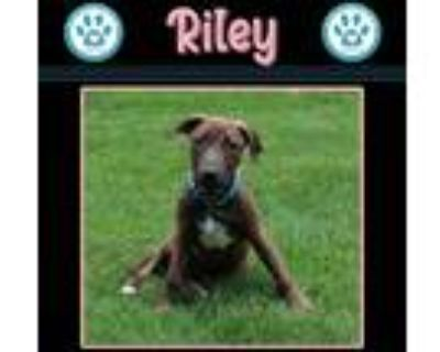 Adopt Riley 071021 (Honey Buns) a Brindle Hound (Unknown Type) dog in Kimberton