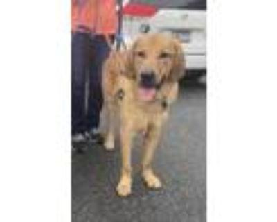 Adopt Hoss a Red/Golden/Orange/Chestnut Labrador Retriever / Great Pyrenees /