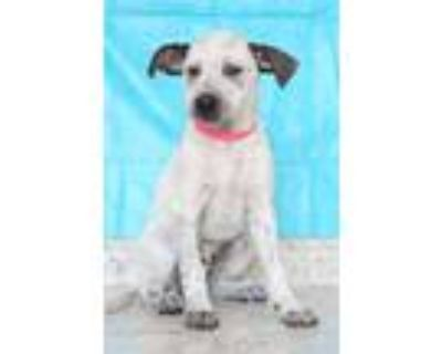 Adopt Janie a White - with Black Blue Heeler / Mixed dog in Waldorf