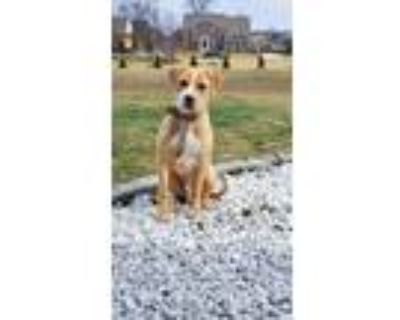 Adopt Cash a Brindle Cane Corso / American Pit Bull Terrier / Mixed dog in