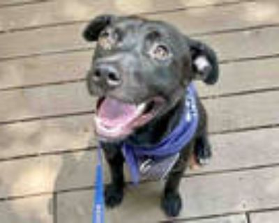 Adopt LUX a Black - with White American Pit Bull Terrier / Mixed dog in Atlanta