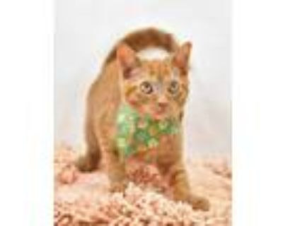 Adopt Paisley (Fungus Among Us) (Main Campus) a Orange or Red Domestic Shorthair