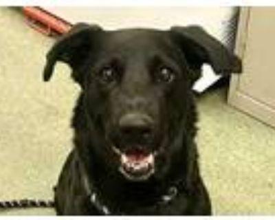 Adopt ARIA a Black - with White Labrador Retriever / Border Collie / Mixed dog