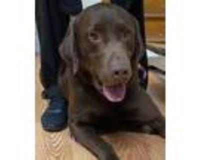 Adopt Dyson a Labrador Retriever