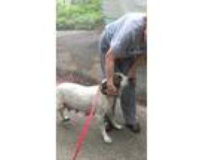 Adopt Diamond a White Pointer / Mixed dog in Walpole, MA (31562731)