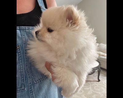 2 Awesome Pomeranian Boys & 1 Tiny Beauty Girl