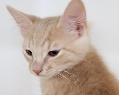 Bronner - Domestic Shorthair - Kitten Male